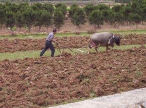 Water buffalo, Yangshuo, China