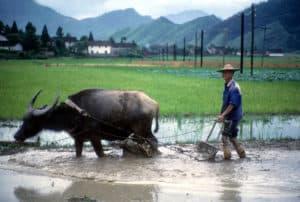Yangshuo, China water buffalo